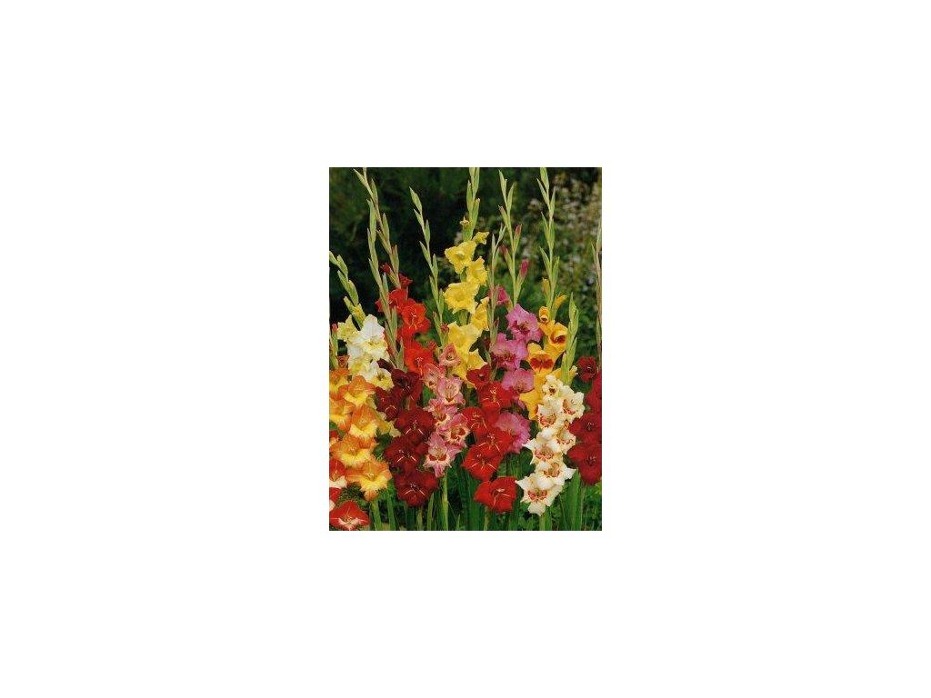 Gladiolus Butterfly - směs barev (10 ks)  Mečík Butterfly - směs barev