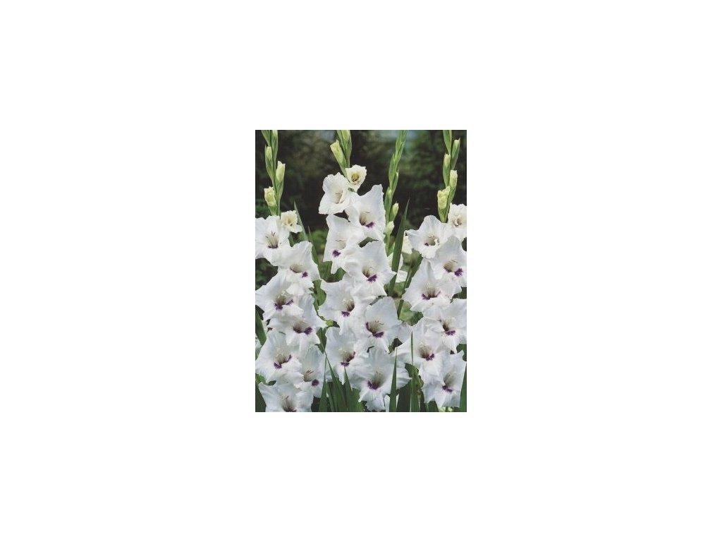 Gladiolus Home Coming (10 ks)  Mečík Home Coming