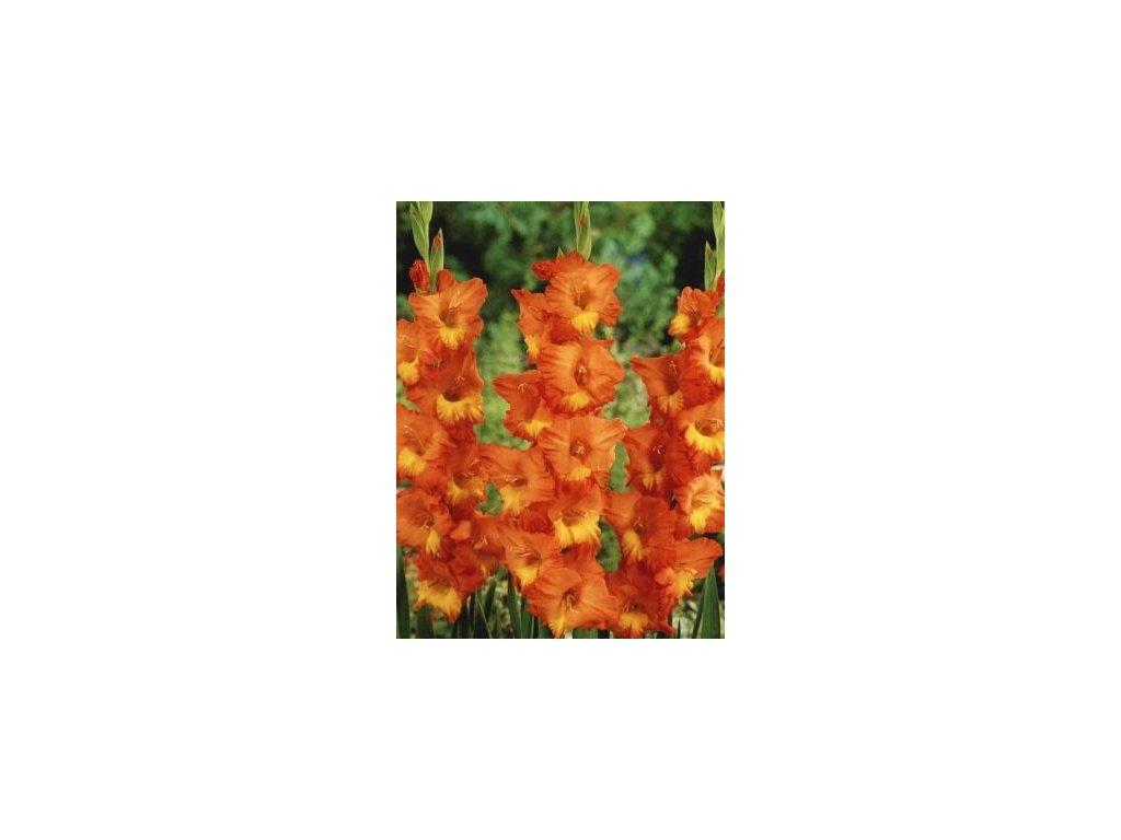 Gladiolus Caramello (10 ks)  Mečík Caramello