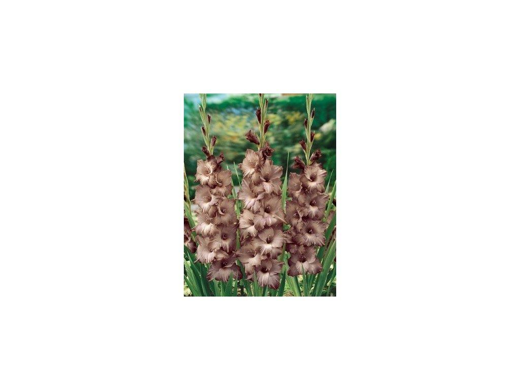 Gladiolus Chocolate (8 ks)  Mečík Chocolate