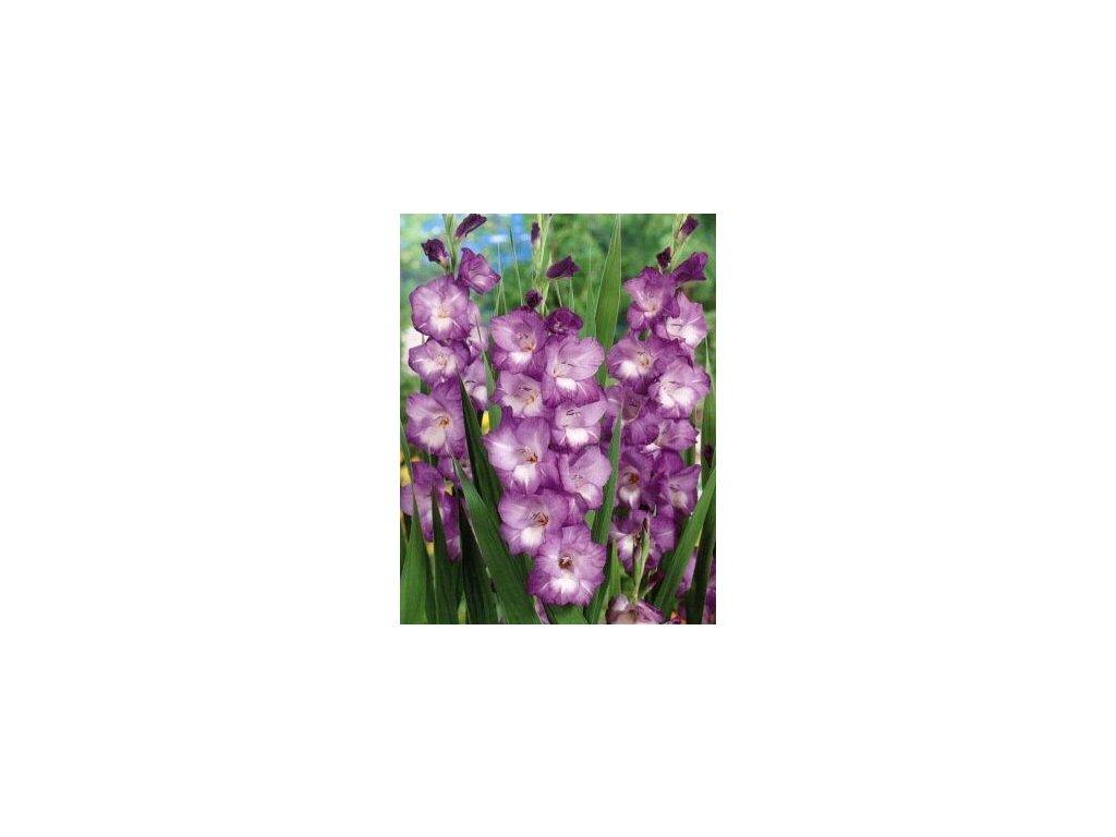 Gladiolus Nori (10 ks)  Mečík Nori