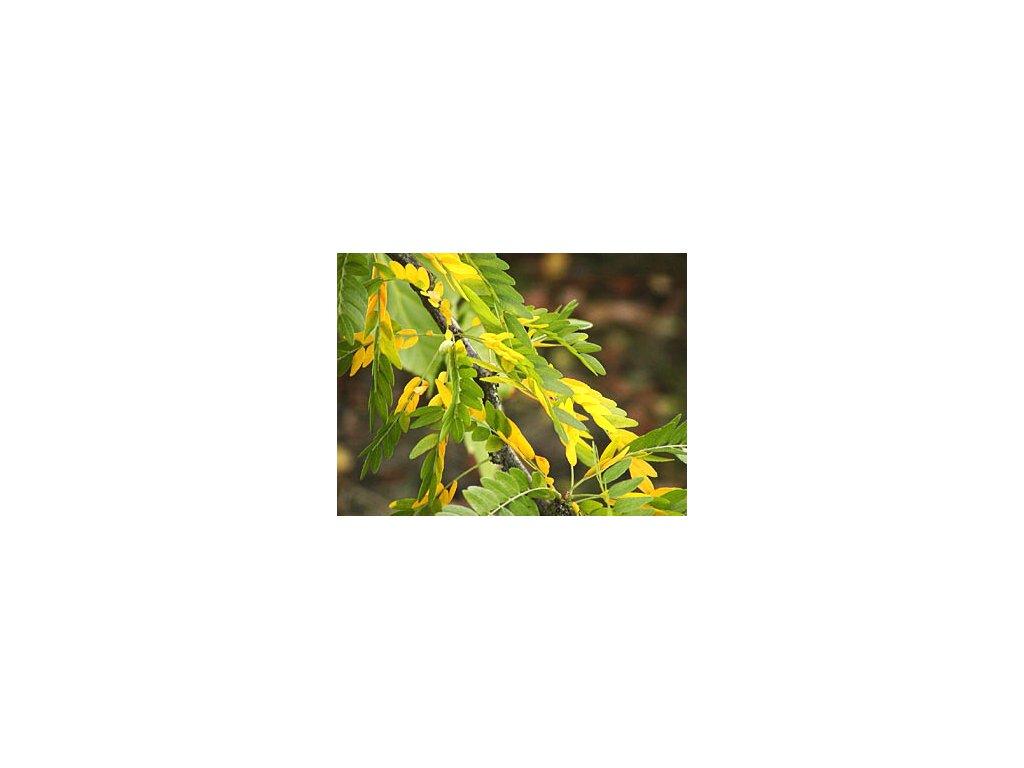 Gleditsia triacanthos ´Sunburst´  Dřezovec trojtrnný ´Sunburst´