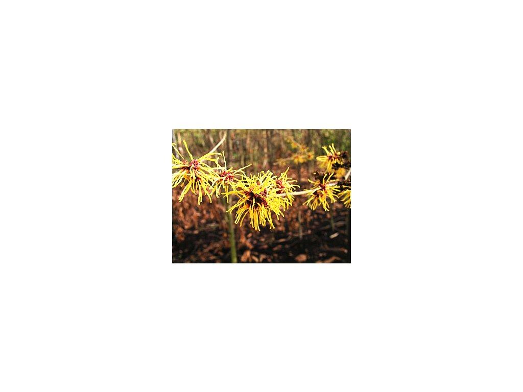 Hamamelis intermedia ´Barmstedt Gold´  Vilín prostřední ´Barmstedt Gold´