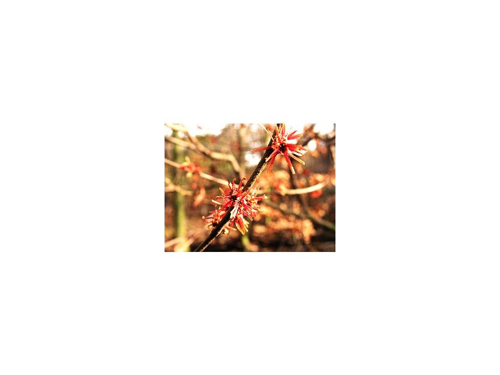 Hamamelis intermedia ´Ruby Glow´  Vilín prostřední ´Ruby Glow´