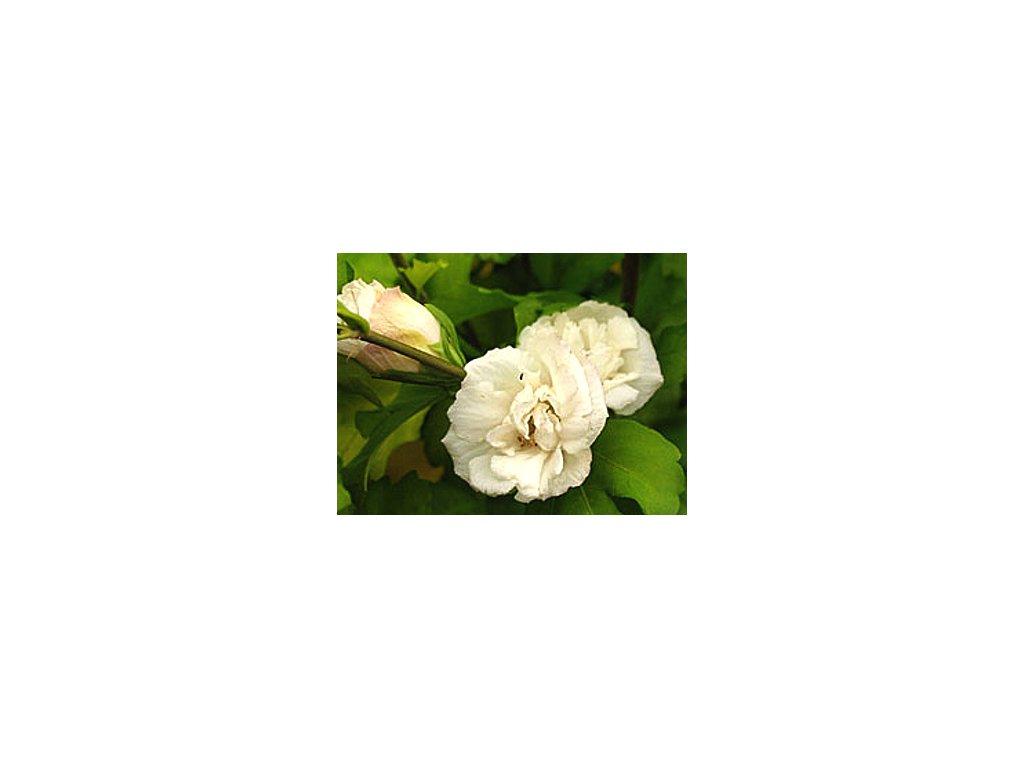 Hibiscus syriacus ´Admiral Dewey´  Ibišek syrský ´Admiral Dewey´