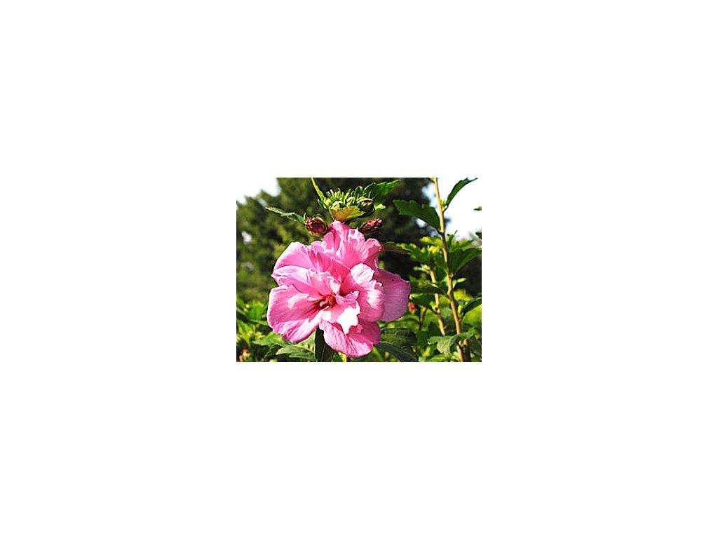 Hibiscus syriacus ´Ardens´  Ibišek syrský ´Ardens´