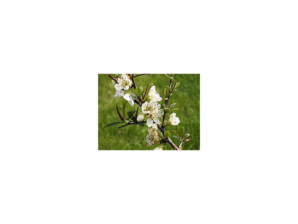 Chaenomeles speciosa ´Nivalis´  Kdoulovec lahvicovitý ´Nivalis´