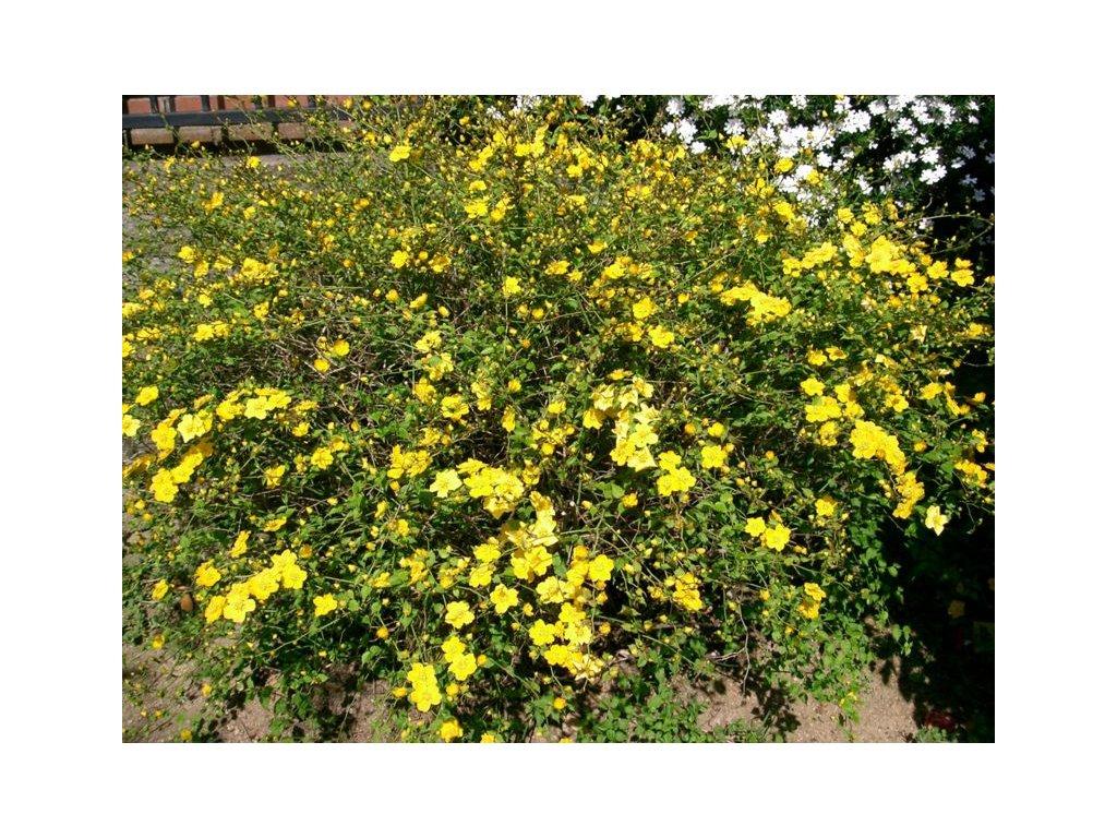 Kerria japonica ´Pleniflora´  Zákula japnská ´Pleniflora´