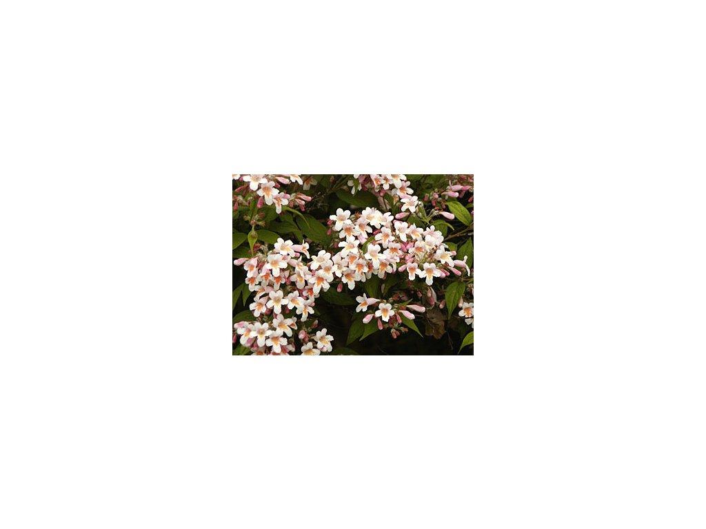Kolkwitzia amabilis  Kolkvície krásná