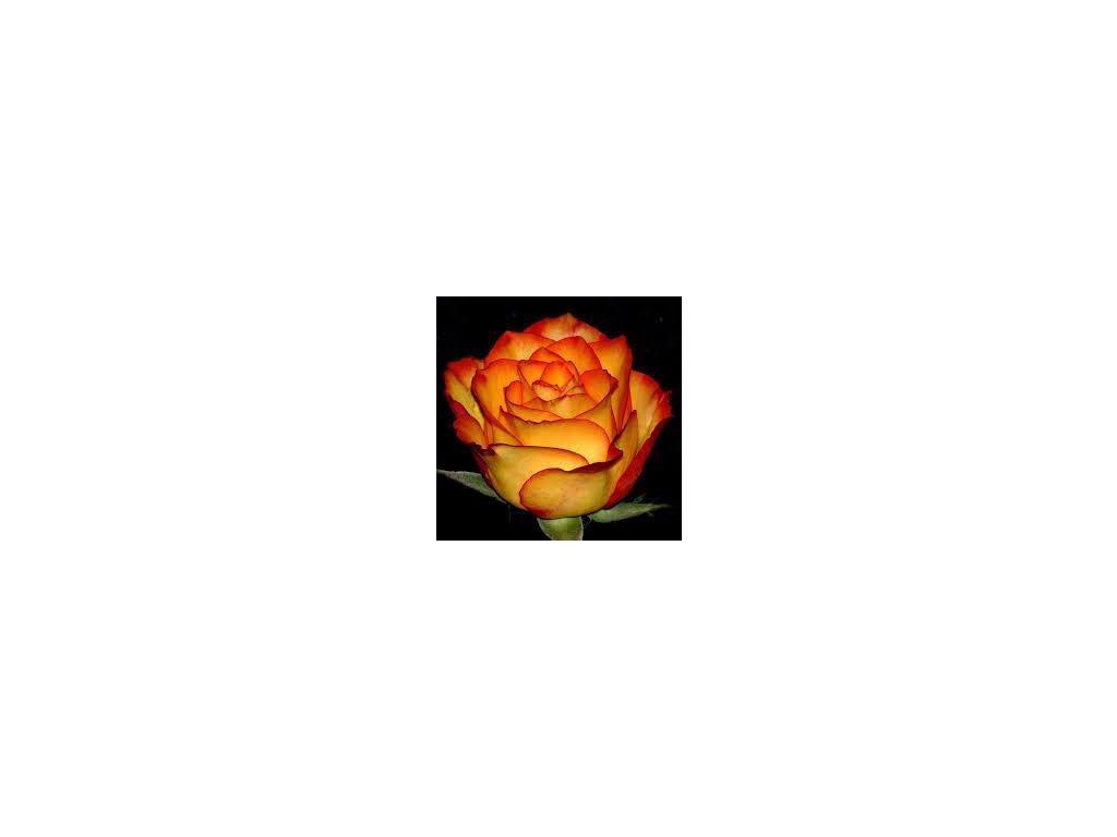 Růže stromková - oranžovo-červená, kontejnerovaná!