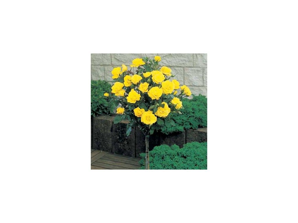 Růže stromková - žlutá, kontejnerovaná!