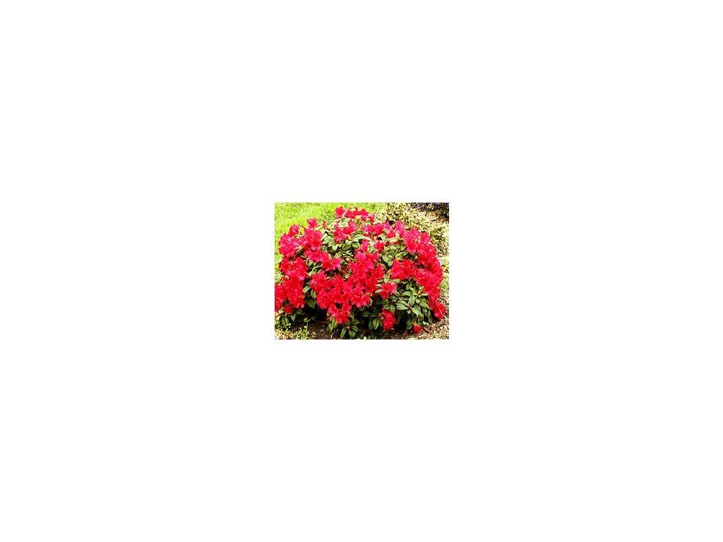 Rhododendron Scarlet Wonder 20 - 30 cm  Pěnišník Scarlet Wonder