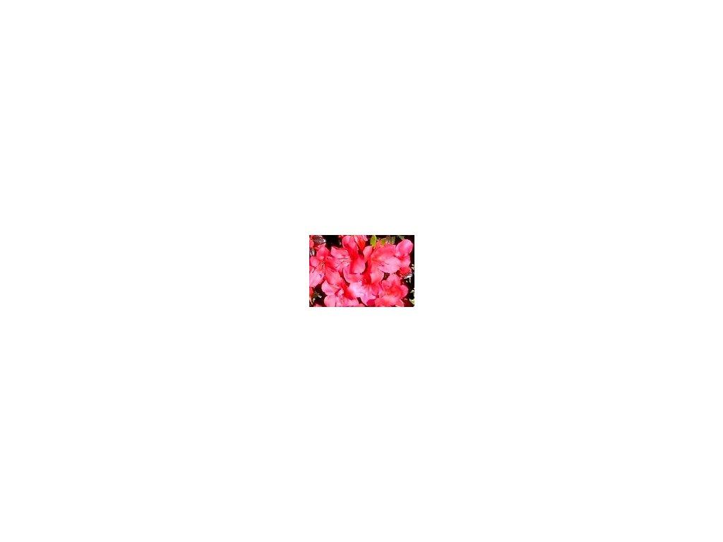 Azalea japonica Maruschka - japonská azalka, zakrslá 20 - 30 cm  Japonská azalka Maruschka (Rhododendron obtusum)