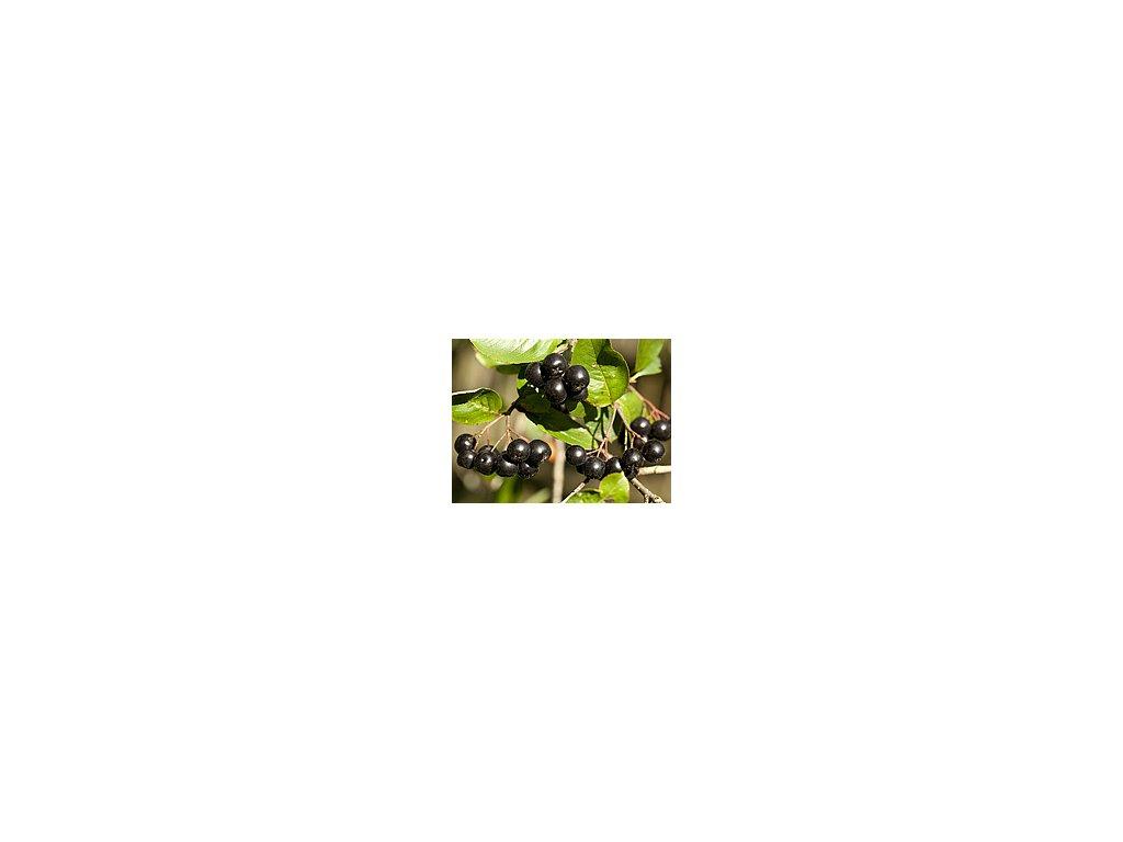 Arónie černoplodá - keř!  Temnoplodec černý (jeřáb)
