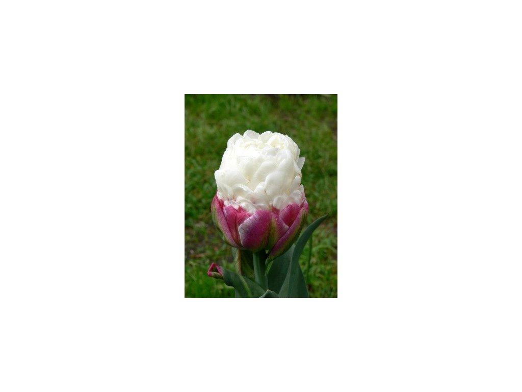 Tulipa Ice Cream- pivoňkovitý (3 ks)  Tulipán pivoňkovitý Ice Cream