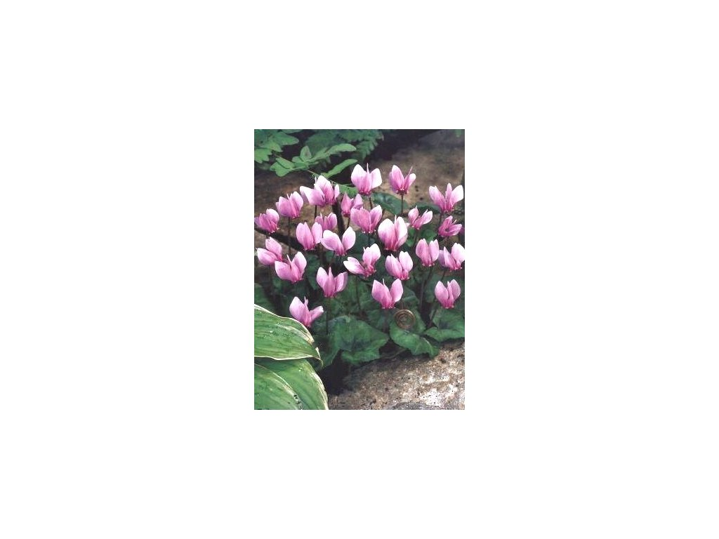 Cyclamen hederifolium - podzimní květ (2 ks)  Brambořík hederifolium