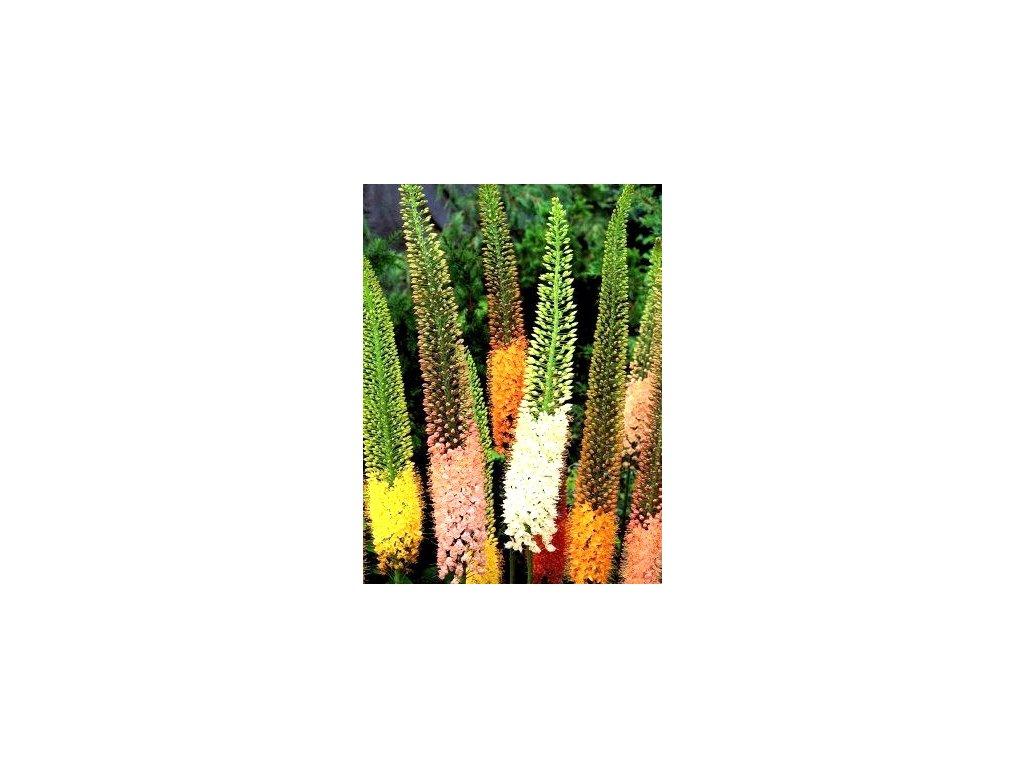 Eremurus Ruiter hybridy - směs barev (1 ks)  Lilichvostec Ruiter hybridy - směs
