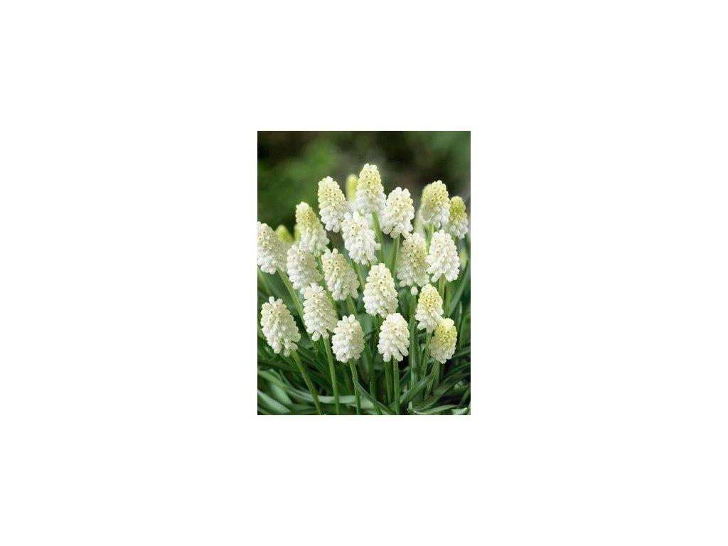 Muscari White Magic (10 ks)  Modřenec White Magic