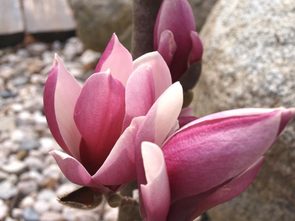 Magnolia liliflora 'Susan'  Šácholán liliokvětý 'Susan'