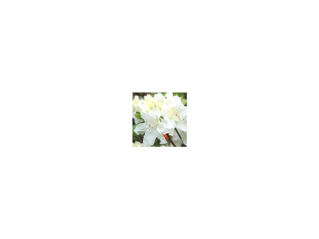 Azalea knaphill Oxydol - velkokvětá 10 - 15 cm  Velkokvětá azalka Goldtopas