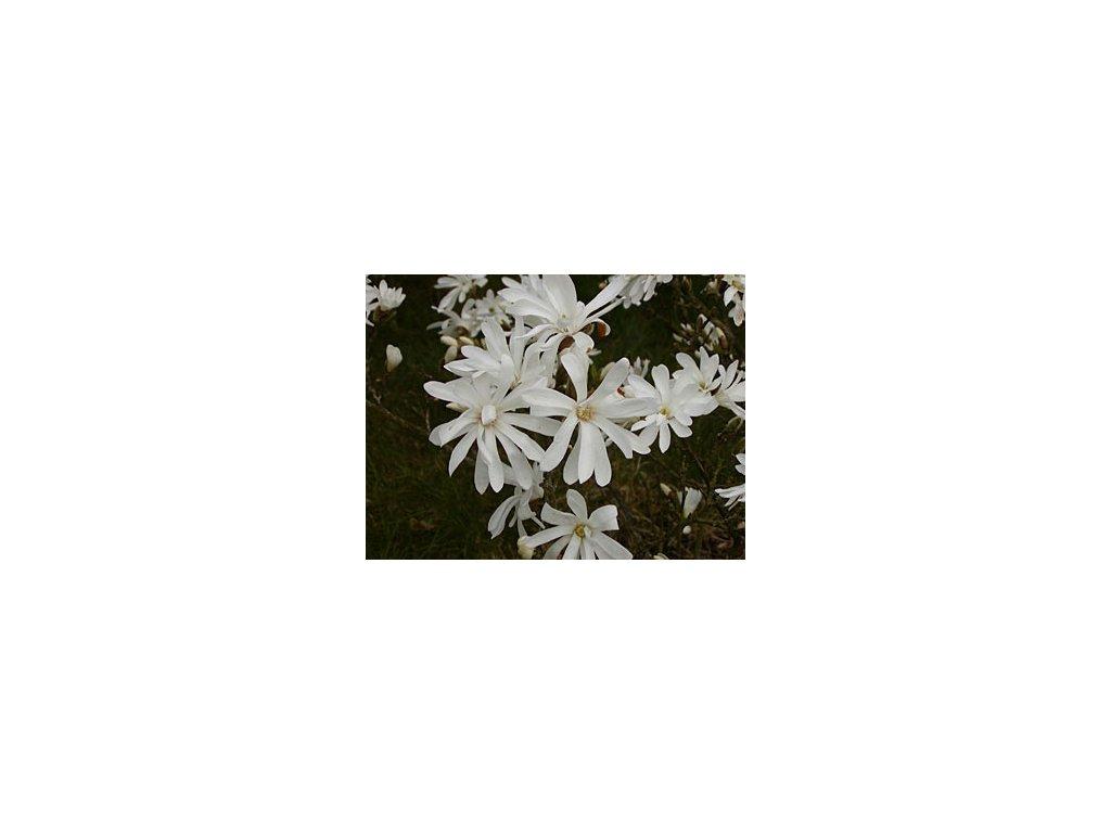 Magnolia stellata Royal Star  Šácholán hvězdokvětý Royal Star