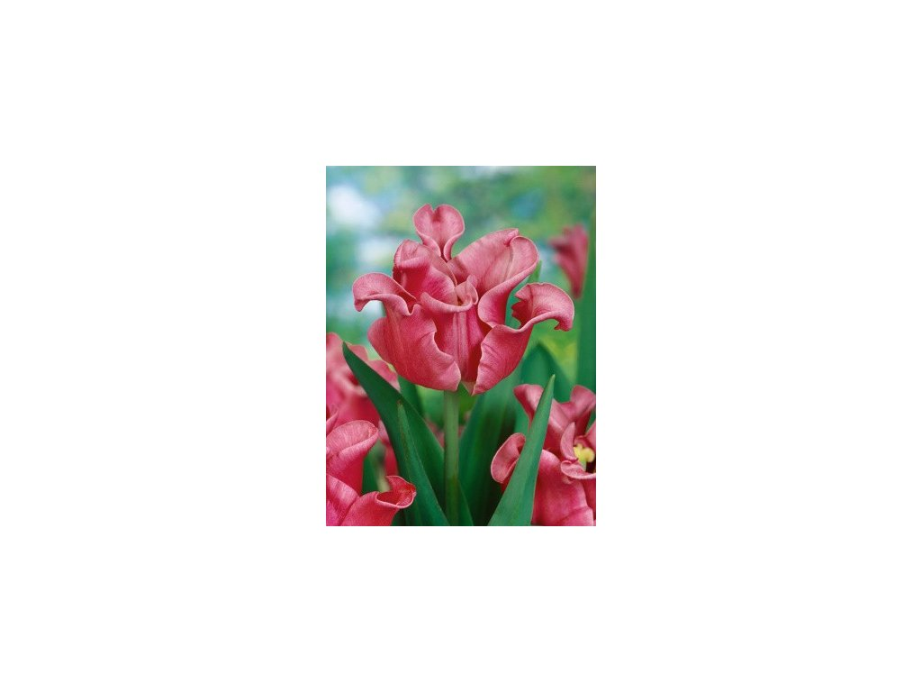 Tulipa Picture (5 ks)  Tulipán Picture
