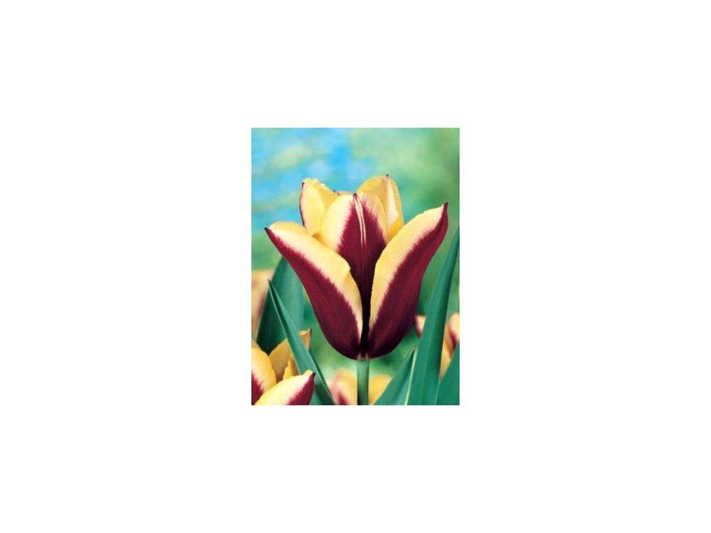 Tulipa triumph Gavota  Tulipán triumph Gavota
