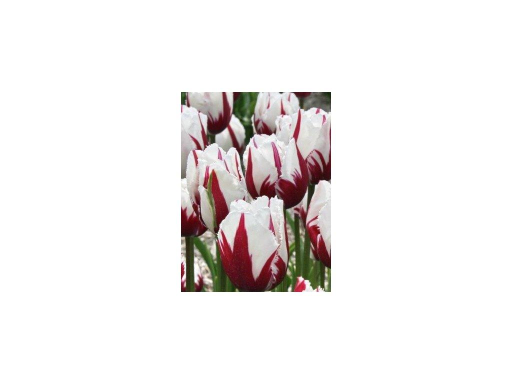 Tulipa Crispa Flaming Baltic  Tulipán Crispa Flaming Baltic