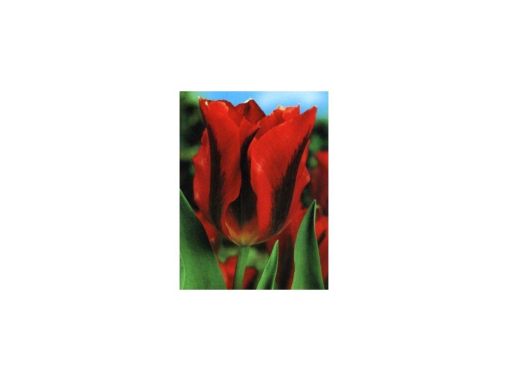 Tulipa viridiflora Hollywood (5 ks)  Tulipán viridiflora Hollywood