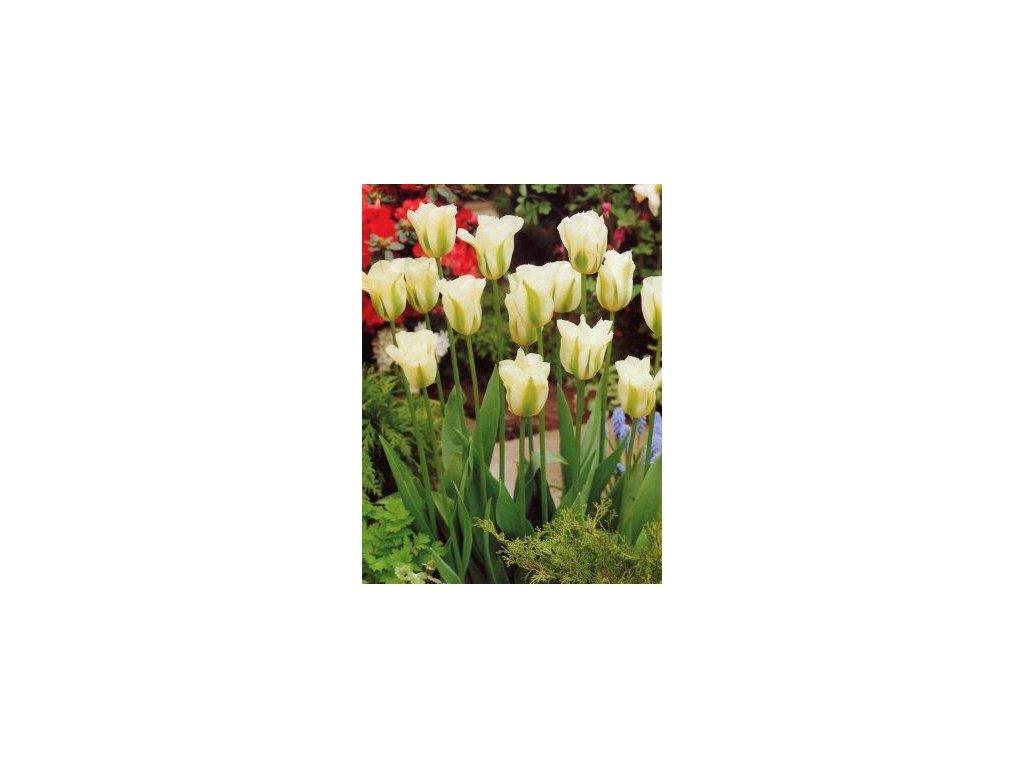 Tulipa viridiflora Spring green (5 ks)  Tulipán viridiflora Spring green