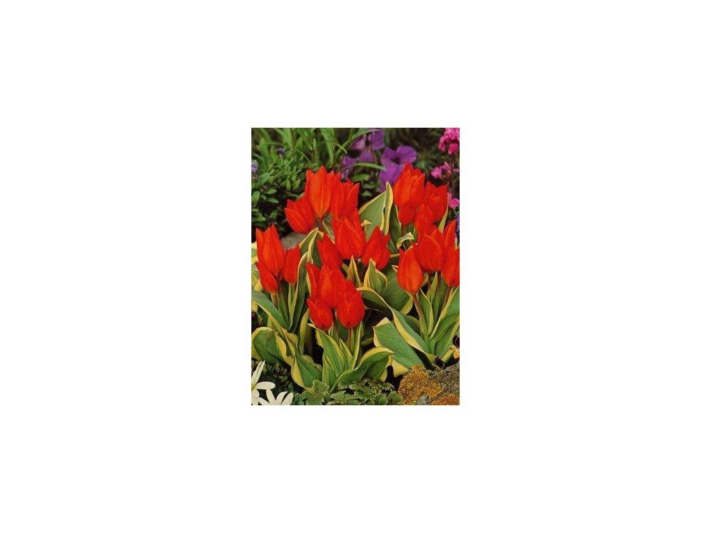Tulipa preastans Unicum (5 ks)  Tulipán mnohokvětý Unicum