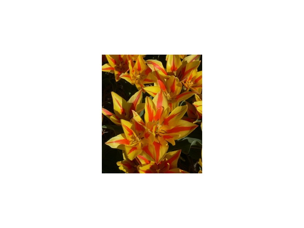 Tulipa Winnipeg (8 ks)  Tulipán mnohokvětý Winnipeg