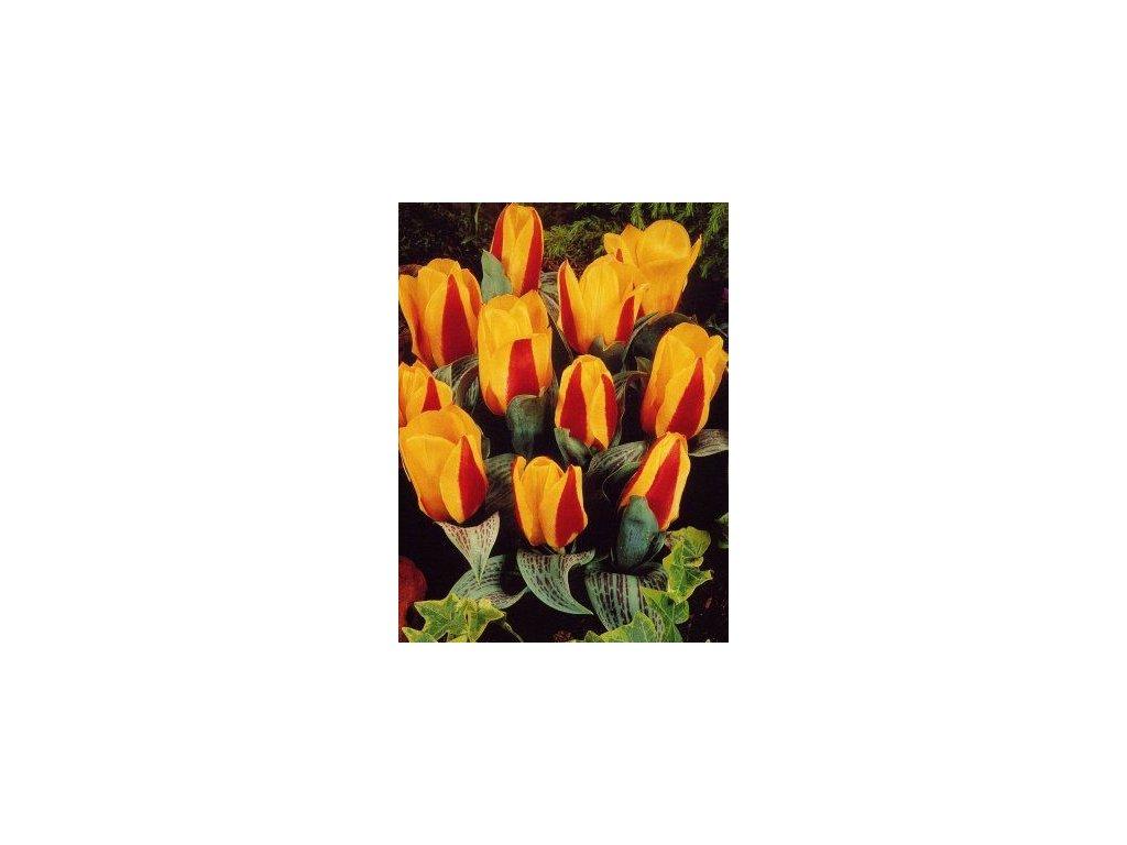 Tulipa kaufmaniana Little Diamond (8 ks)  Tulipán kaufmaniana Little Diamond