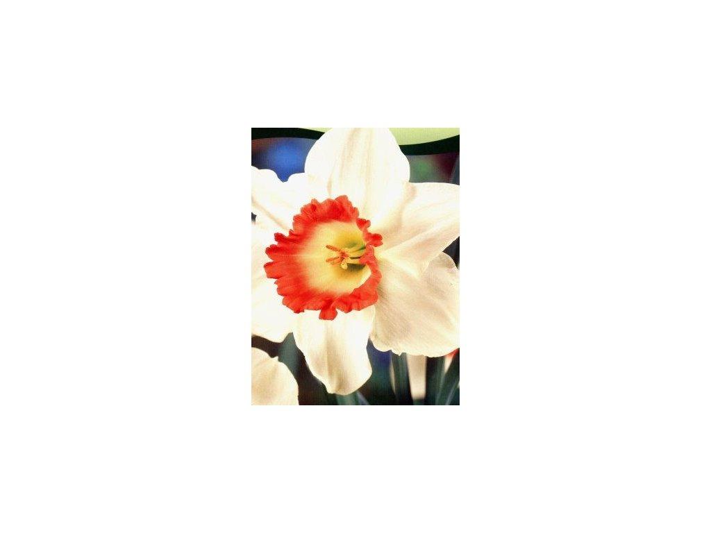 Narcissus Pink Charm (5 ks)  Narcis Pink Charm