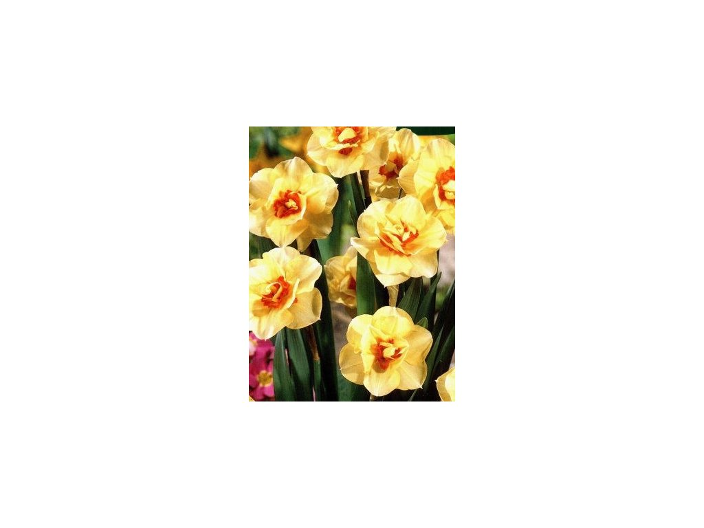 Narcissus Double Fashion (5 ks)  Narcis plnokvětý Double Fashion