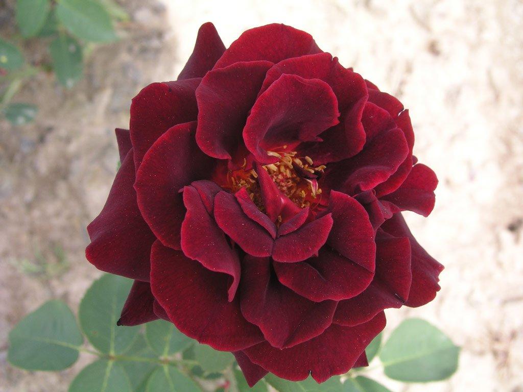 Růže stromková převislá - tmavě-červená, kontejnerovaná!