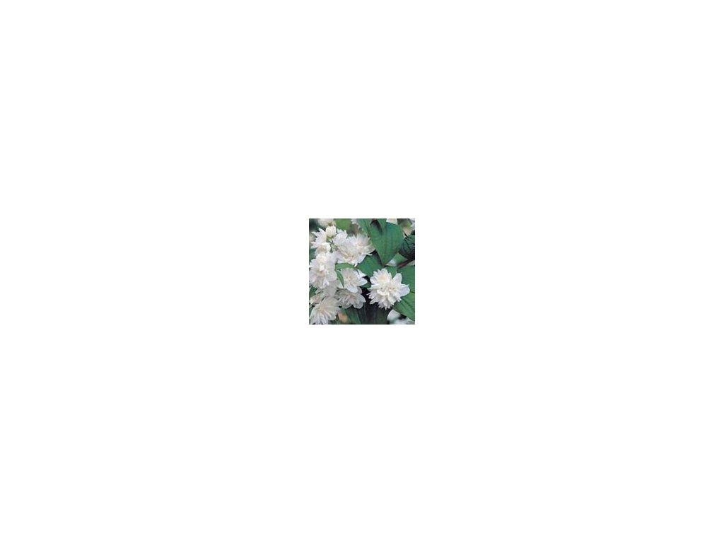 Philadelphus virginalis (nepravý jasmín)  Pustoryl panenský