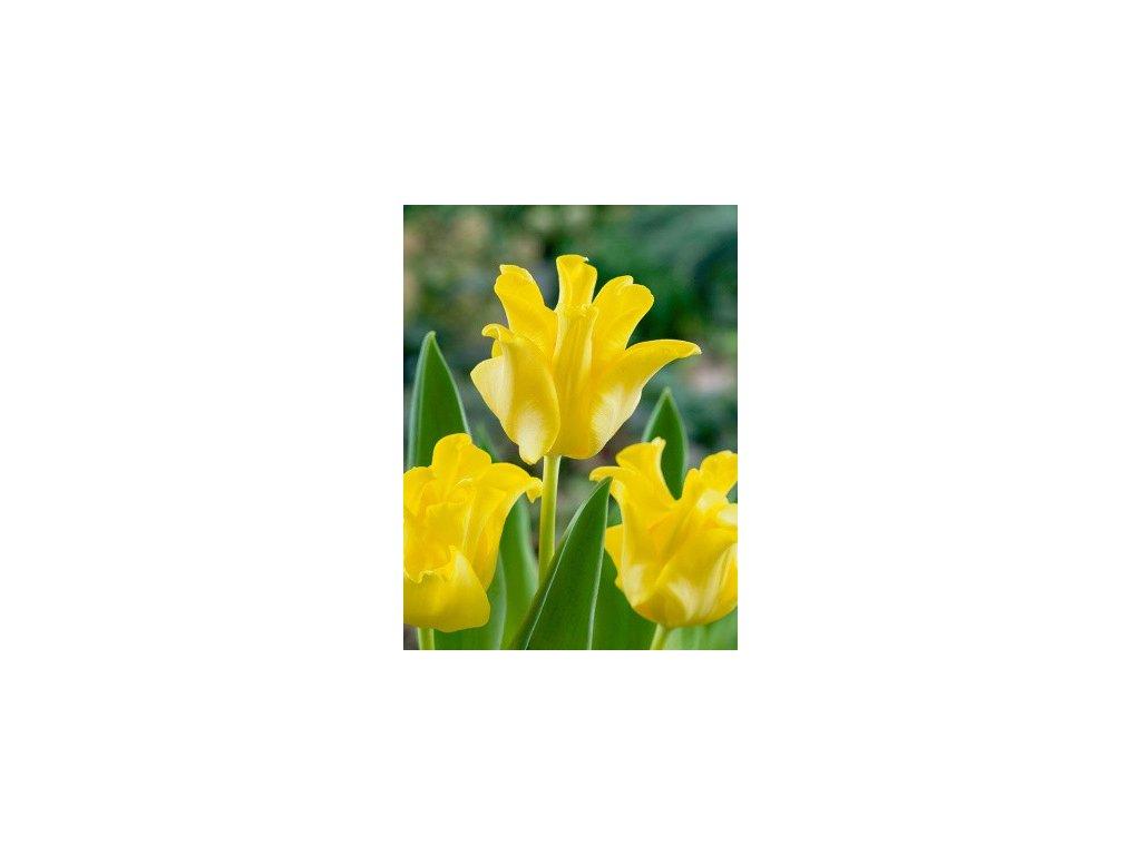 Tulipa Yellow Crown - jednoduchý, pozdní (5 ks)  Tulipán Yellow Crown