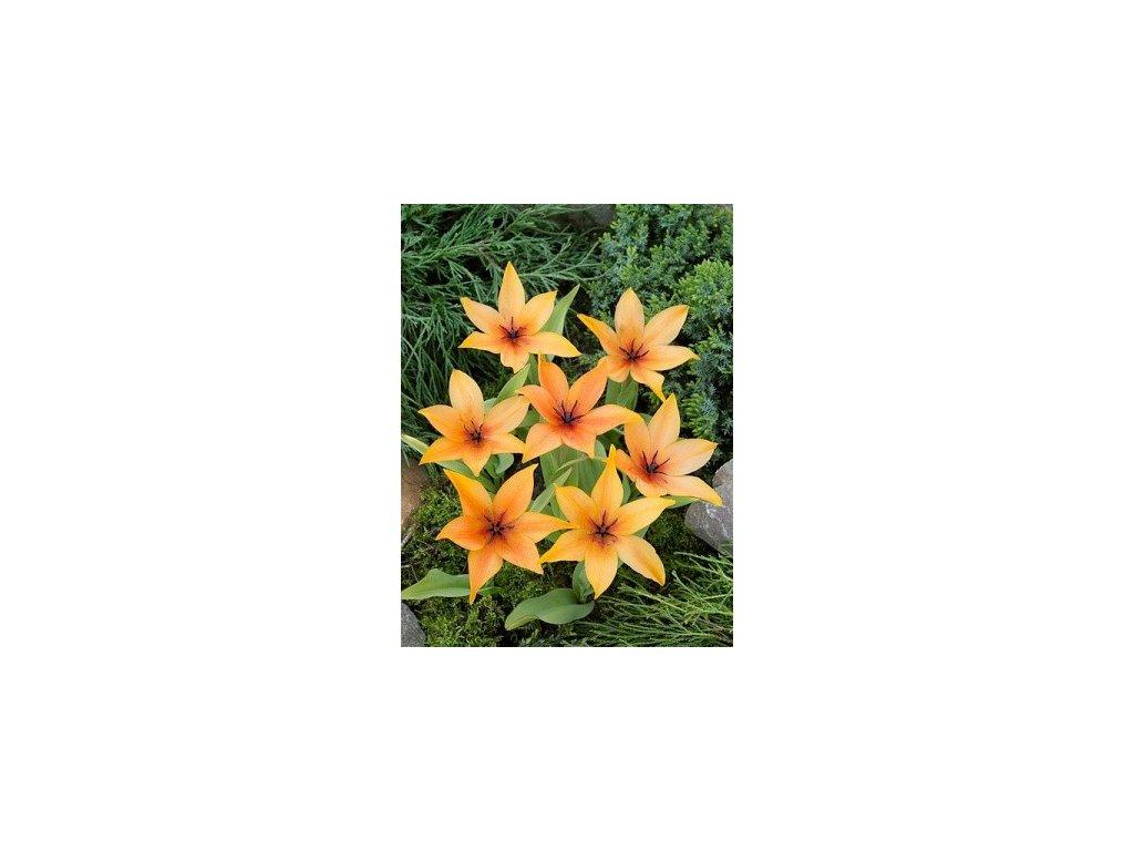 Tulipa praestans Shogun (8 ks) mnohokvěté!  Tulipán mnohokvětý Shogun