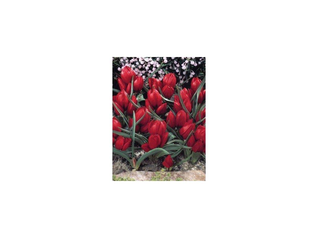 Tulipa Pulchella Liliput (8 ks)  Tulipán botanický Liliput