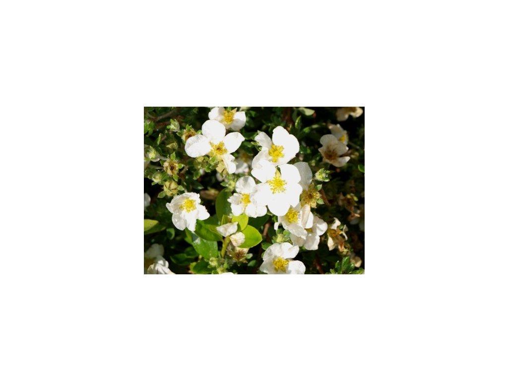 Potentilla fruticosa ´Abbottswood´  Mochna křovitá ´Abbottswood´