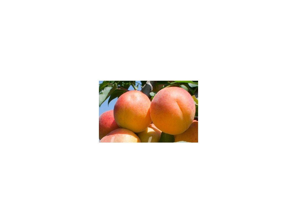 meruňka Mamut - obří plody!  Meruňka Mamut