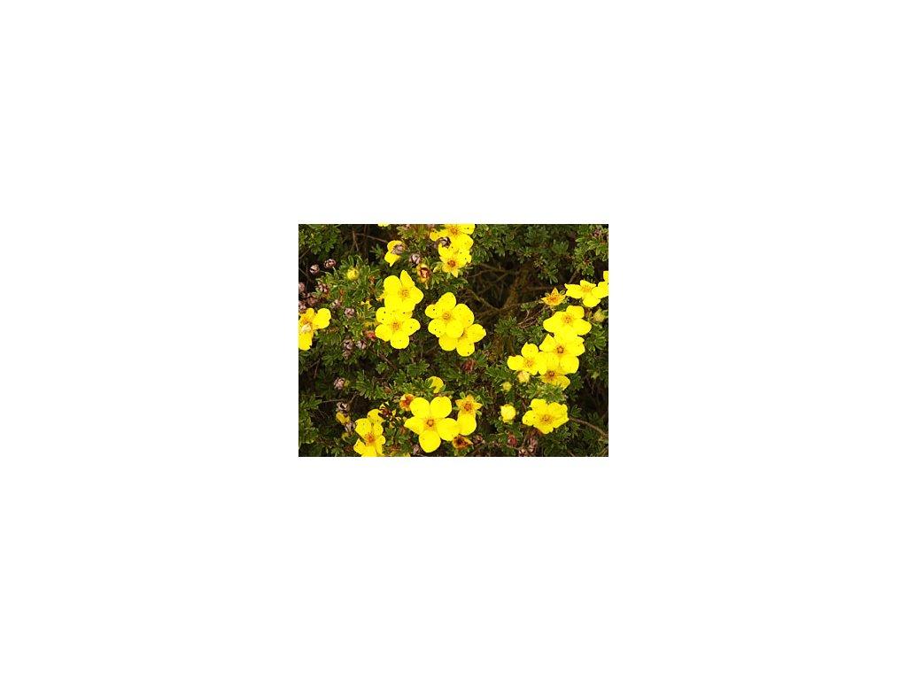 Potentilla fruticosa 'Jolina'  Mochna křovitá 'Jolina'