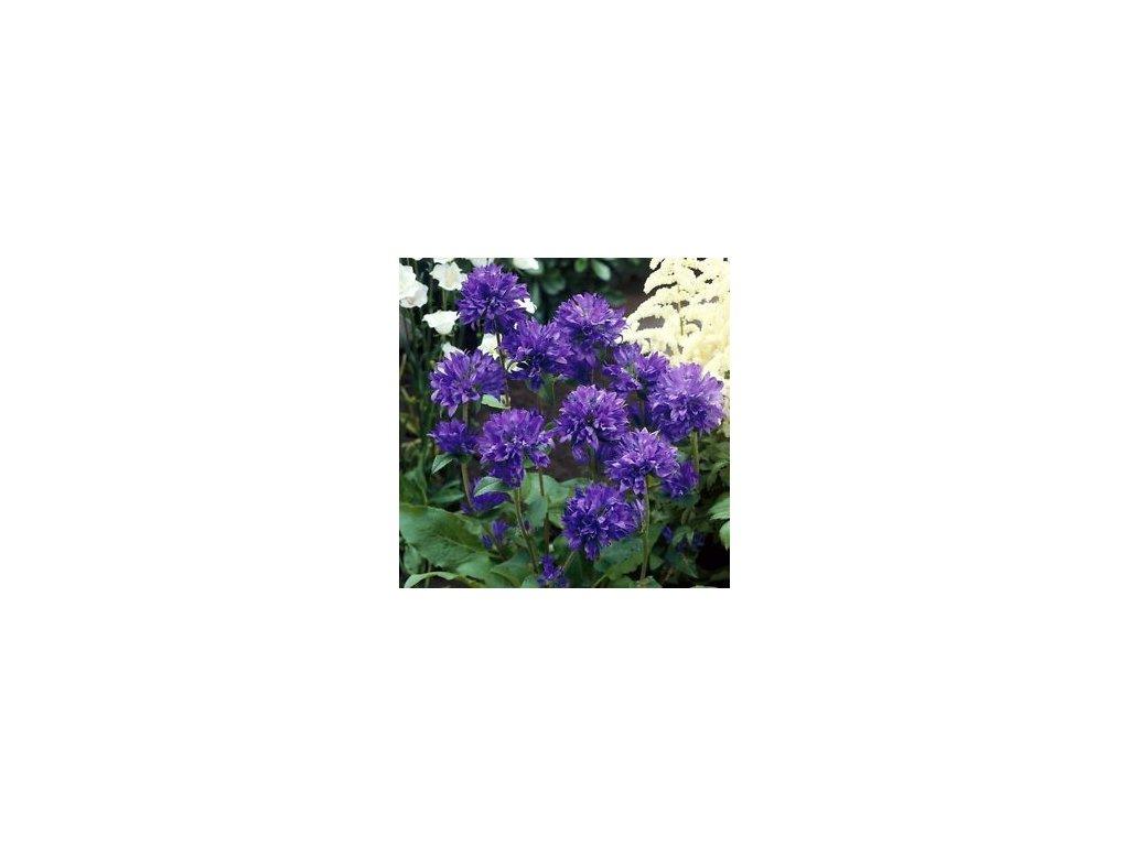 Campanula glomerata bellefleur blue  Zvonek klubkatý