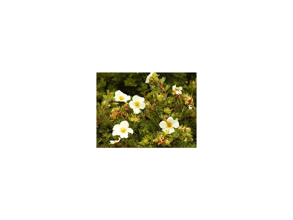 Potentilla fruticosa 'Tibolt Cream'  Mochna křovitá 'Tibolt Cream'