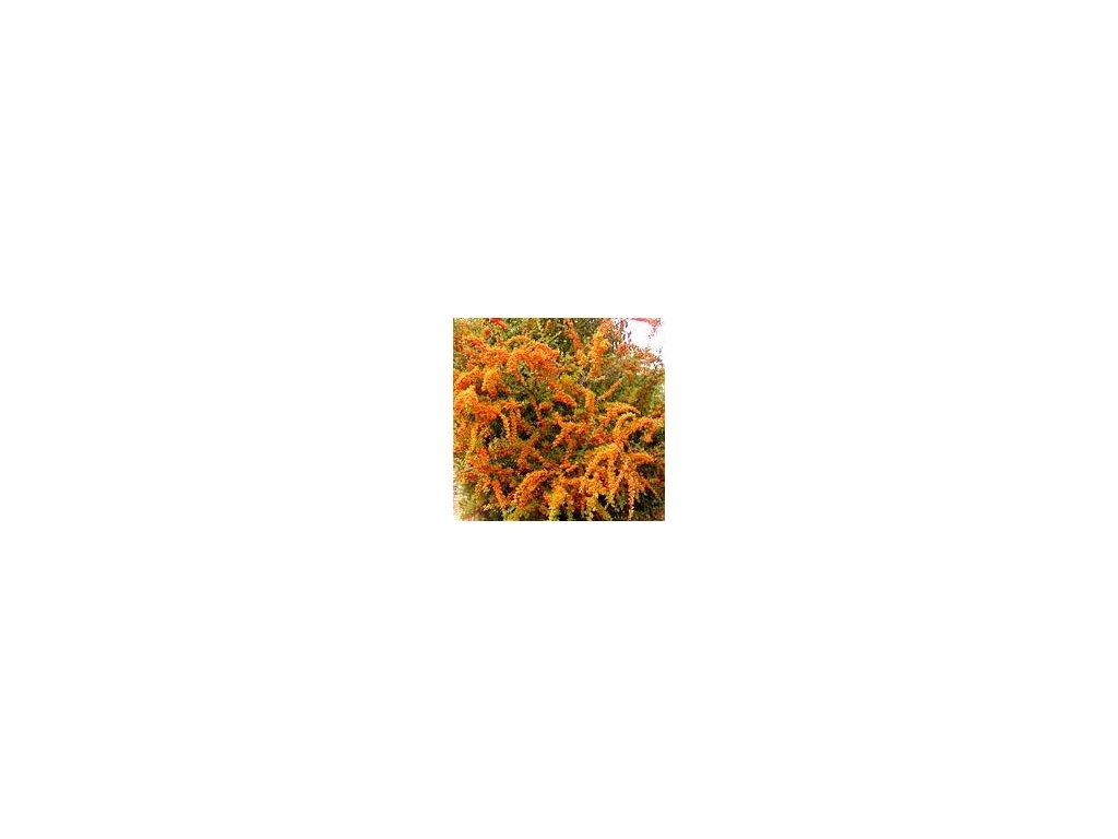 Pyracantha coccinea ´Orange Glow´  Hlohyně šarlatová ´Orange Glow´