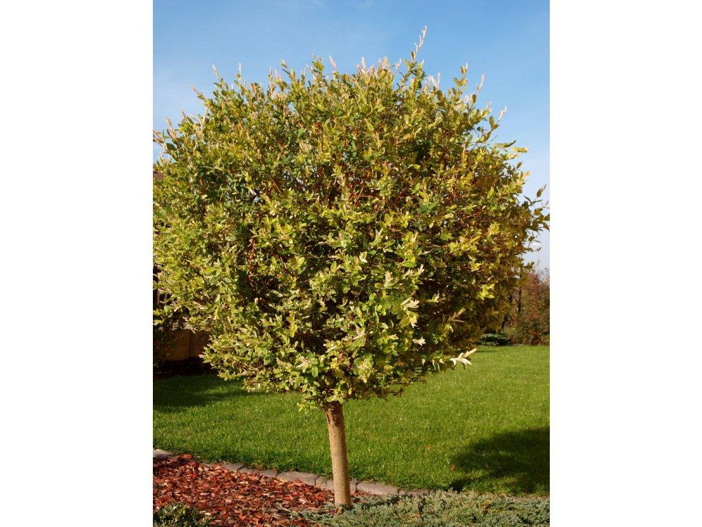 Salix integra ´Hakuro Nishiki´  Vrba japonská ´Hakuro Nishiki´