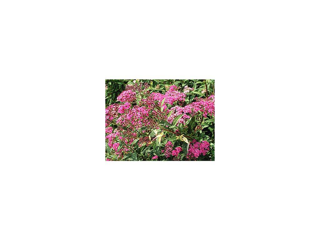 Spiraea japonica ´Anthony Waterer´  Tavolník japonský ´Anthony Waterer´