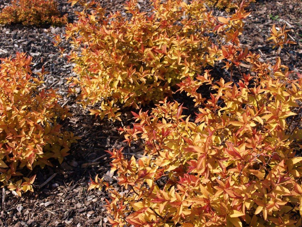 Spiraea japonica ´Golden Princess´  Tavolník japonský ´Golden Princess´