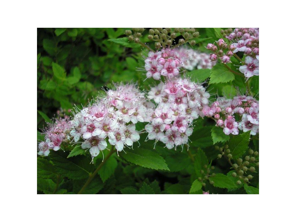 Spiraea japonica ´Little Princess´  Tavolník japonský ´Little Princess´